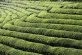 Green tea terrace field