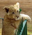 Close-up of small Lion cub