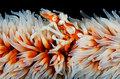Whip Coral Xeno Crab