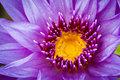 lotus aquatic flora