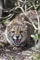 Devensive cheetah