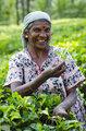Tea picking in Sri Lanka hill country