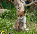 Fox Cub watching