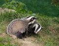 Badger Cubs playing
