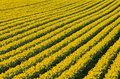 Rows of flowering yellow daffodil flowers in a field.