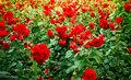 roses flowerbed