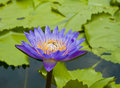 Purple lotus flower blooming