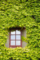Ivy covered wall and window