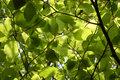 Dense green foliage of beech trees