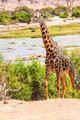 Free Giraffe in Kenya
