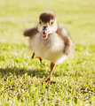Duckling in the run