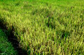 Rice in the farm, Agriculture concept