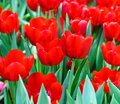 Red tulip blossom