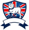 Proud English bulldog marching
