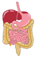 digestive system stock vector